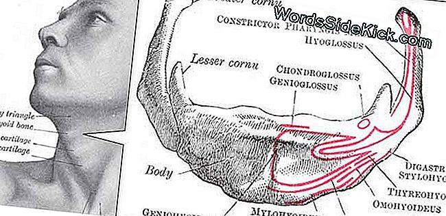 Afbeeldingsresultaat voor wat is het hyoid bot