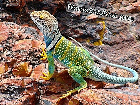 На Снимки: Flashy Collared Lizards Of The North American Pustts