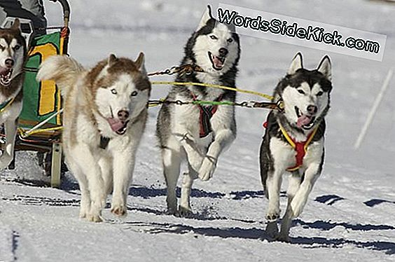 Iditarod Dogs Endurance Secret Revealed
