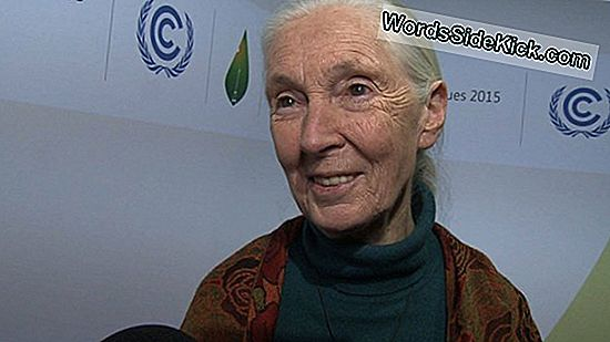 Jane Goodall: Uopsættelig Handling Nødvendig For At Spare Chimpanser