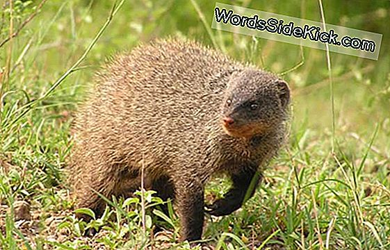 The Mongoose: Nasty To Neighbors, Friendly To Strangers