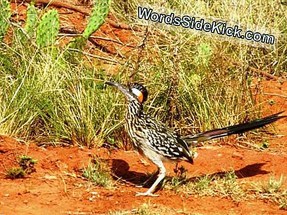 Secret Lives Of Roadrunners Revealed