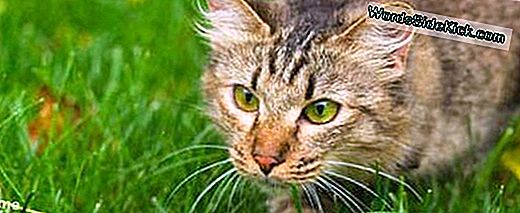 Stealthy Cats 'Achilles Heel Discovered