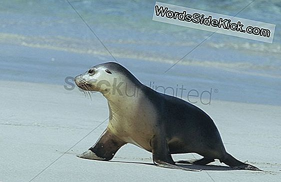 Walking Seal Kaldet Manglende Link I Evolution