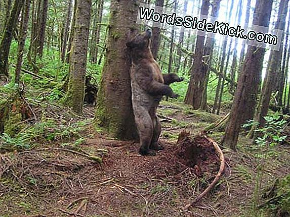 Hvorfor Grizzly Bears Rub Trees