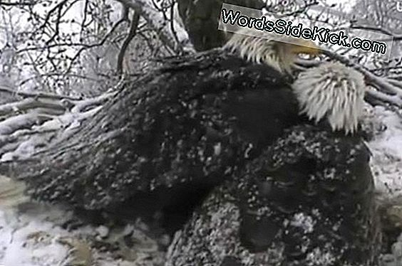 Web Celeb Eagles Survive Spring Snow
