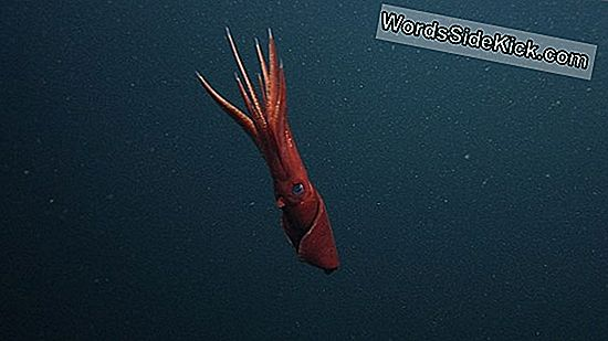 Deep-Sea Squid Sloten Wriggling Arms Om Predators Te Ontsnappen