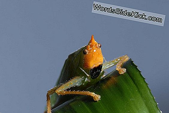Tiny Katydid Ears Look Remarkably Human