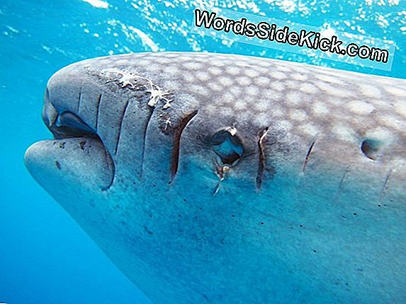 Propeller-Slashed Whale Shark Highlights Økoturisme Fare