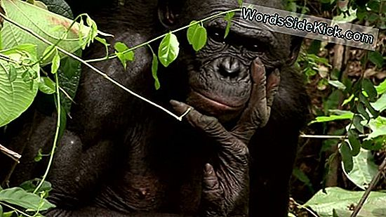Hippie Chimps: Ny Clue Kan Forklare Bonobo Peacefulness