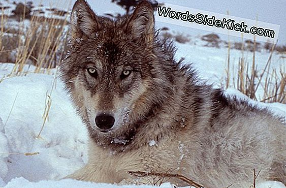 Yellowstone Wolves Ramt Af Sygdom