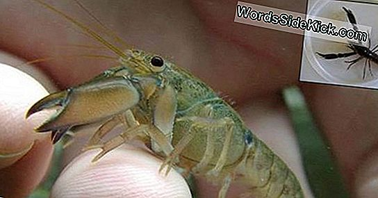 Adorably Tiny Crayfish Discovered (En Het Is Een Kannibaal)