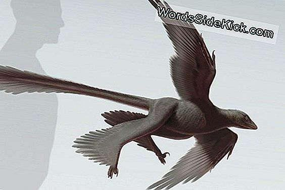 Bizarre Dinosaur Havde 4 'Wings', Long Tail Feathers