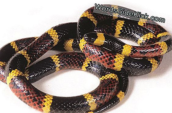 Coral Snakes: Colors, Bites, Farts & Facts