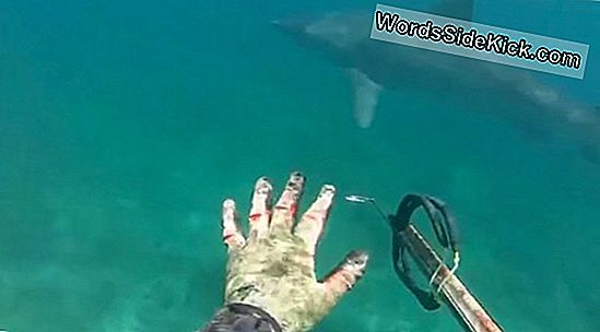Diver'S Scary Great White Shark Encounter Fanget På Video