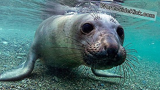 Elephant Seals Overlev Deep Dives Med 'Rokers' Blood '