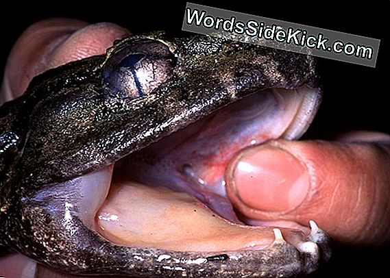 Fanged Frog Species Geeft Geboorte Aan Live Young
