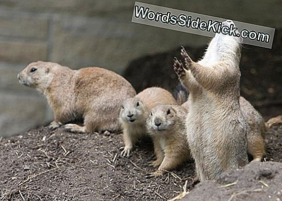 Furry Fans: Why Prairie Dogs Do'S The Wave
