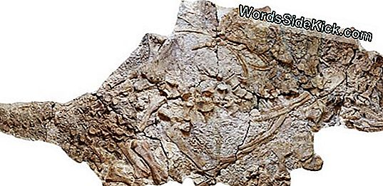 Giant Armored Dinosaur Unearthed I Kina