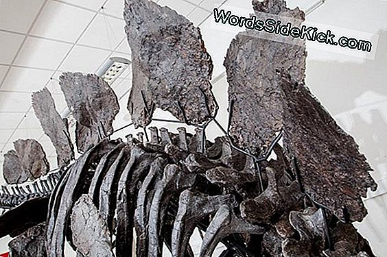 Fotos: Incredible Near-Complete Stegosaurus Skeleton