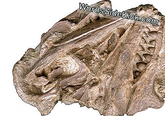 Ancient Reptile With Bizarre Smile Kept Tooth Fairy Druk Bezig