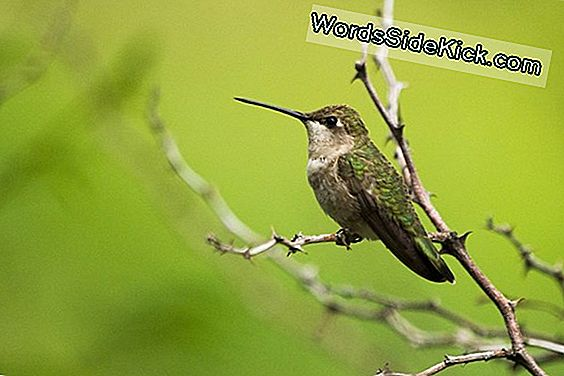 Hummingbirds Brug Hawks For Home Security