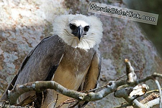 In Afbeeldingen: Amazing Harpy Eagle Chick