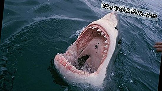 I Fotos: Great White Sharks Attack