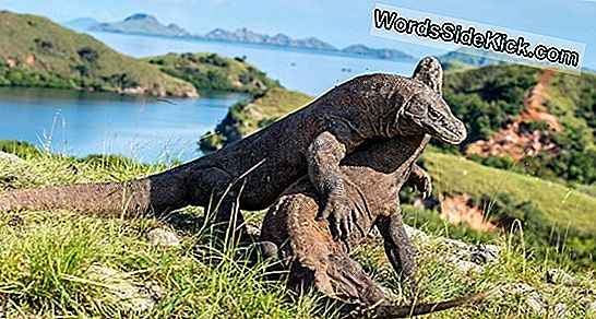 Komodo Dragon Fakta