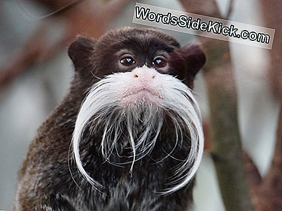 Monkey Mustaches Og Beards Help Algorithm Recognize Faces