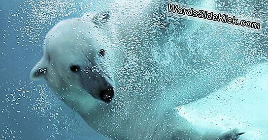 Polar Bear Awes Kanssa Record-Breaking Dive