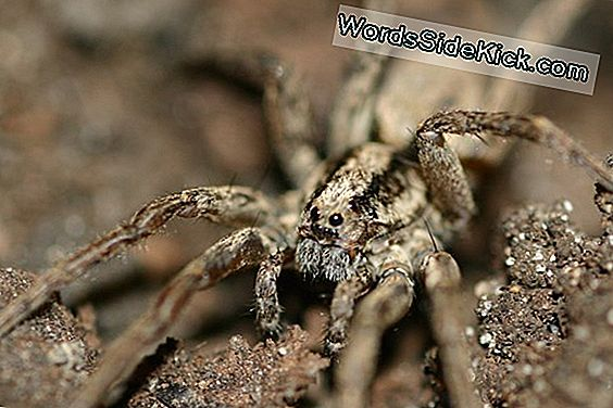 'Purring' Wolf Spiders Soft Serenade Mates