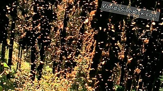 Amazing Monarch Butterfly Migration Rebounding Now