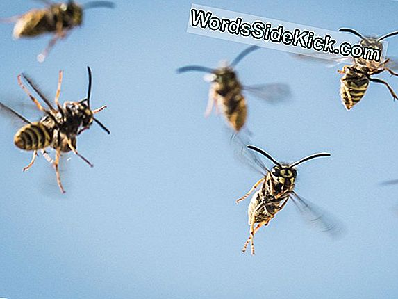 Angry Wasps Capture Intruding Muurahaiset, Fly Away, Airdrop Heidät