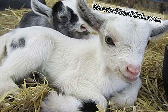 Baaad Call: Young Goats Pick Up Accents