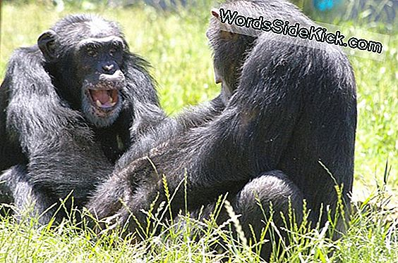 Boas, Chimps Eller Tigers: Wild Animals Are Not Pets (Op-Ed)