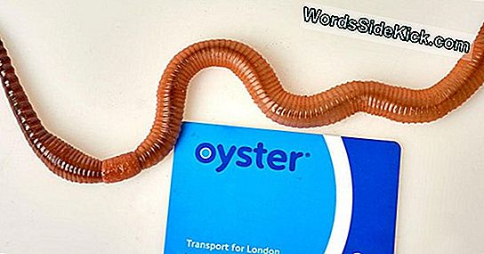 Dave The Giant Earthworm Sets Record I Storbritannien, Verden