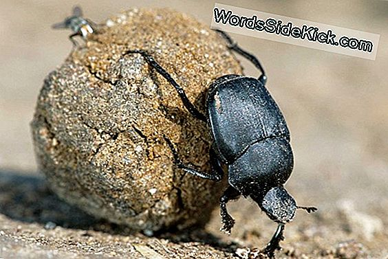 Dung Beetle'S Poop Præference: Smellier The Better