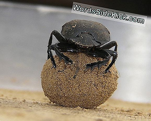 Dung Beetles Dance On Poo For Celestial Navigation