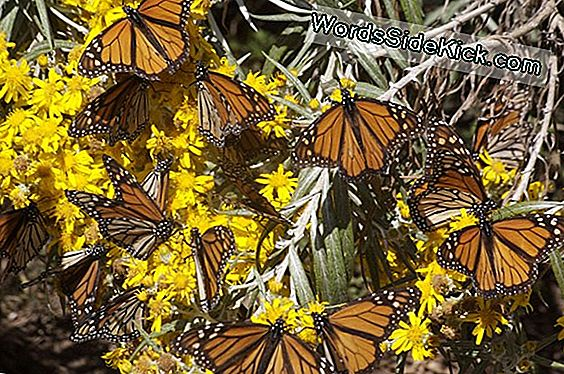 Extreme Weather Strikes Blow Til Monarch Butterflies
