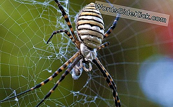 Garden Spiders: Weavers Of Delicate Webs