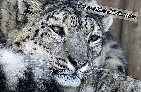 Fotos: Elusive Snow Leopards Trives I Overraskende Stedet