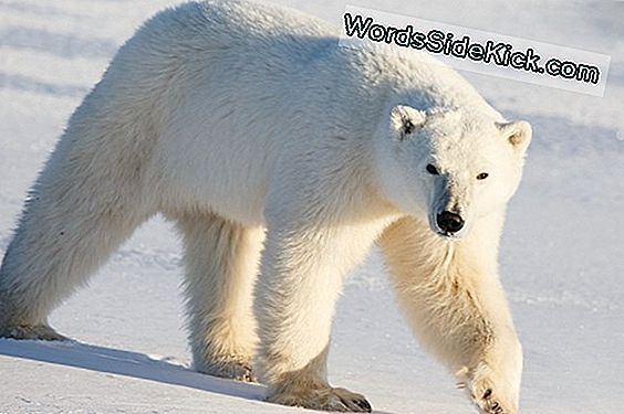 Polar Bears Mystiske Origins Befuddle Scientists