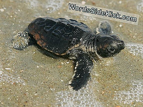 Boom Di Sandy Sea Surge Hit Baby Sea Turtle