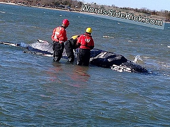 Whale Stranded Euthanized A Long Island Bay