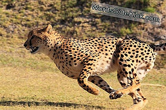 Usain Bolt Vs The Cheetah: Olympians Of The Animal Kingdom