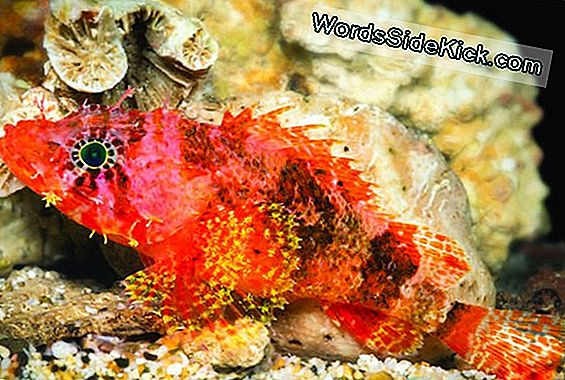 Vibrantly Colored 'Starburst' Scorpionfish Opdaget I Caribien