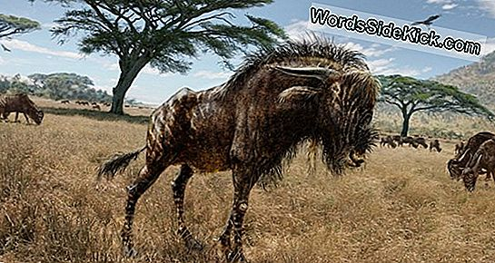 Weird Old Wildebeest Sported Duck-Billed Dinosaur Nose