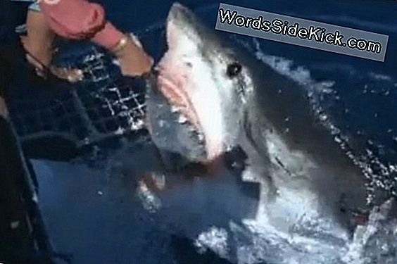 Wild Video: Woman Feeds Great White Shark By Hand