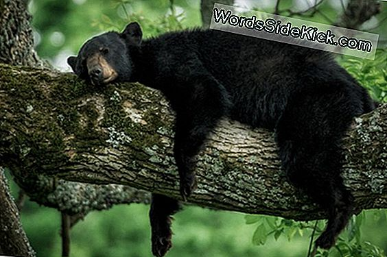 Un-Bear-Ably Cute: Black Bear Caught Napping